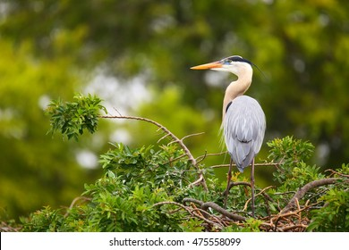 Great Blue Heron (Ardea herodias) standing on a nest. It is the largest North American heron.