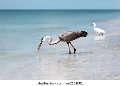 Great blue heron, Ardea herodias, catching a fish, Sanibel Island, Florida, USA