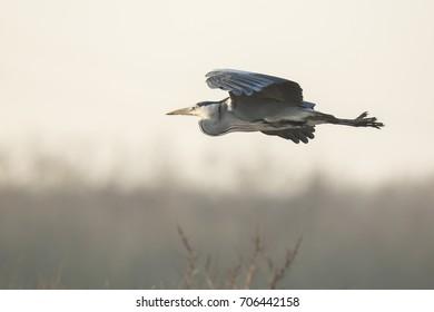 Great blue heron (Ardea herodias) waterfowl bird in flight with his wings spread.