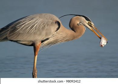Great Blue Heron (Ardea herodias) Eating a Fish - Fort Myers Beach, Florida