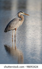 Great Blue Heron (Ardea herodias) Wading in a Shallow Pond Bathed in Early Morning Light - Fort Myers Beach, Florida