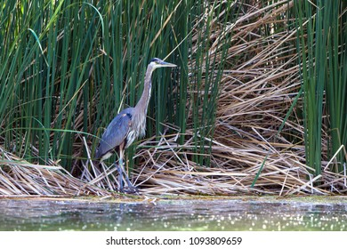 Great Blue Heron awaits a fish in the marsh at Dead Horse Ranch State Park near Cottonwood, Arizon