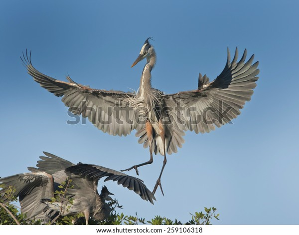 great-blue-heron-back-his-600w-259106318