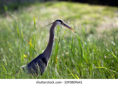Great Blue Heron backlit in early morning light in a field at Dead Horse Ranch State Park near Cottonwood, Arizona