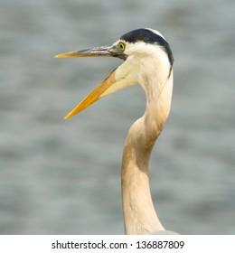 Great Blue Heron with Beak Open