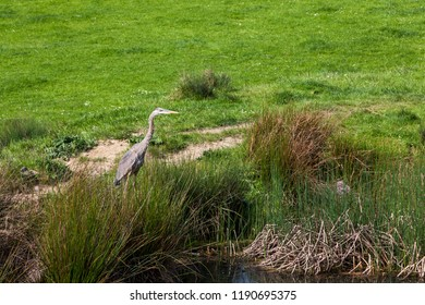 A Great Blue Heron bird fishing next to a pond on a spring day with a vibrant green grass background.