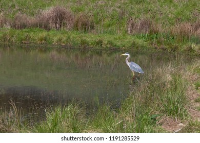 A Great Blue Heron bird fishing in a shallow pond on a spring day with tall grass along the shore.