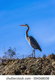 Great blue heron bird has blue gray colored feathers and s-shaped neck.The heron is standing on the  top of a hill against a blue sky.