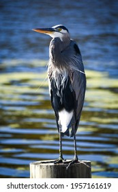 Great Blue Heron Bird Perched By a Pond at Magnolia Gardens in Charleston, South Carolina