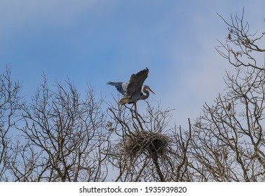 A Great Blue Heron builds a nest in the rookery at Kensington Metropark, Milford, Michigan.