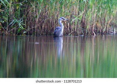Great Blue Heron catches fish at viewing hut Diependal in Oranje, the Netherlands
