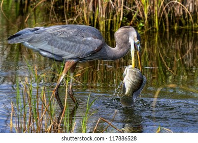 Great Blue Heron Catching a Huge Fish