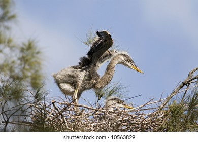 Great Blue Heron Chicks in Nest