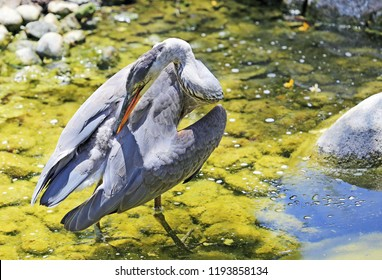 Great blue heron cleaning feathers