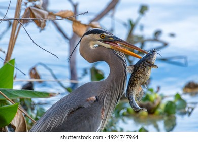 Great Blue Heron close-up headshot upper and lower beak stabbed a catfishes head. Photo taken in 2021 at circle b bar reserve in Lakeland, Florida, USA