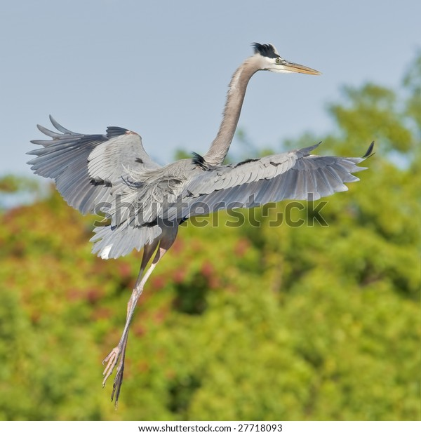 Great Blue Heron, Dancing in the air