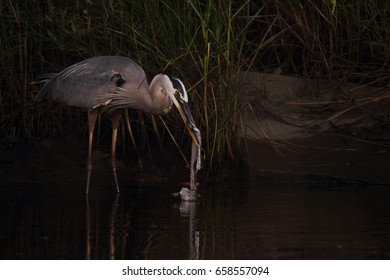 GREAT BLUE HERON WITH FISH CARCASS