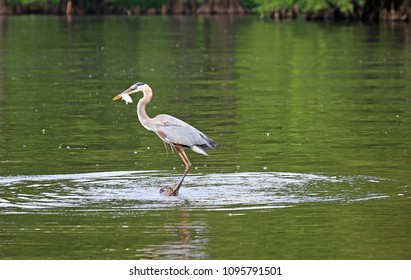 Great blue heron with a fish - Reelfoot Lake State Park, Tennessee