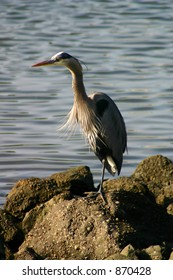 Great Blue Heron Fishing at Bodega Bay.