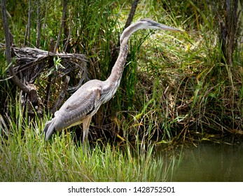 A great Blue Heron fishing for his next meal in the Florida Everglades National Park