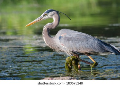 Great Blue Heron fishing in the low lake waters.