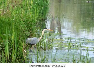 Great blue heron fishing in nature reserve Bourgoyen Ghent, Belgium