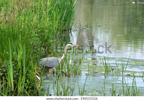 Great blue heron fishing in nature reserve Bourgoyen Ghent, Belgium
