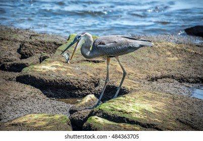 Great Blue Heron fishing on the Chesapeake Bay catching a Maryland Blue Crab