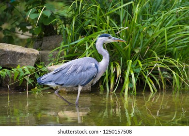 great blue heron fishing in shallow water