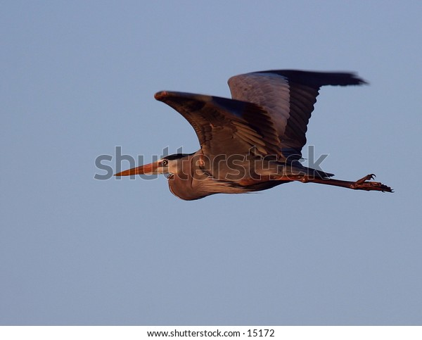 A great blue heron flies into the early morning sunlight