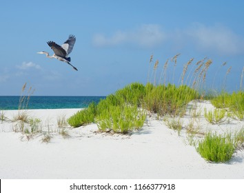 Great Blue Heron Flies Over Beautiful White Sand Florida Beach