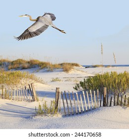 A Great Blue Heron Flies Over a Beautiful White Sand Beach