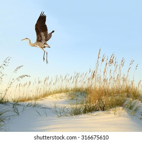 Great Blue Heron Flies Over the Sea Oat Covered Sand Dunes