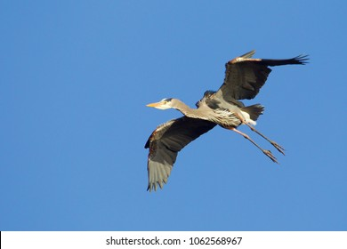 Great Blue Heron in flight against a clear blue sky
