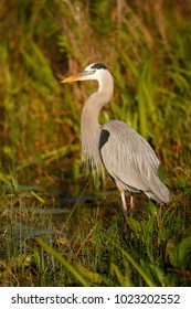 A Great Blue Heron in the Florida Everglades
