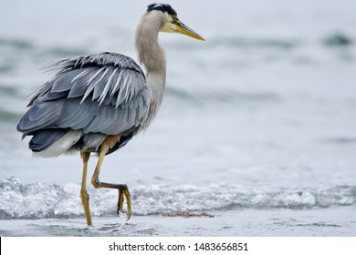 Great blue heron fluffs its feathers as it wades in breaking waves, Witty's Lagoon, Vancouver Island, British Columbia