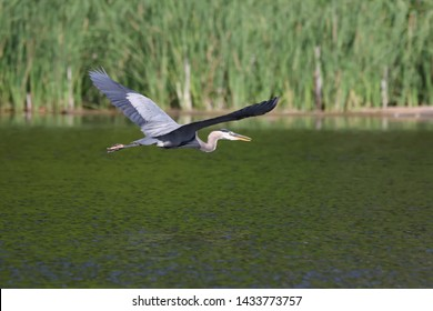 A great blue heron flying low over the water.