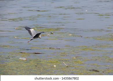 Great blue heron flying over Danube river - Veliko Gradiste - Serbia