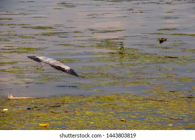 great blue heron flying over the Danube river