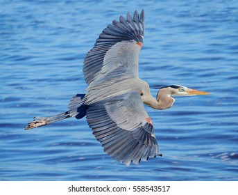 Great Blue Heron Flying Over a Florida Bay