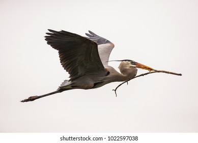 A Great Blue Heron Flying with a Stick Taking it to its Nest and Mate
