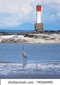 Great Blue Heron in front of a lighthouse. Taken on Vancouver Island, British Columbia, Canada, but suitable for a great variety of uses.