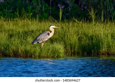 Great Blue Heron in a Green Meadow wading.
