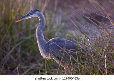 Great blue heron hunting in marsh