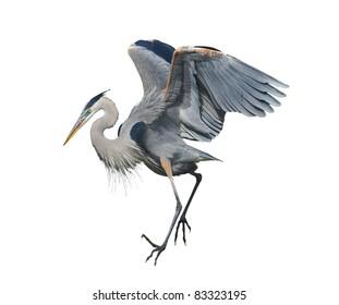 Great Blue Heron, isolated on white. Latin name - Ardea herodias.