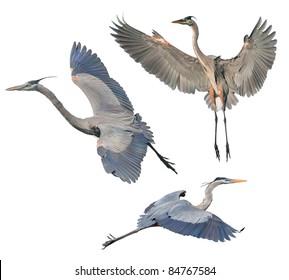 Great Blue Heron, isolated on white. Latin name - Ardea heroida.