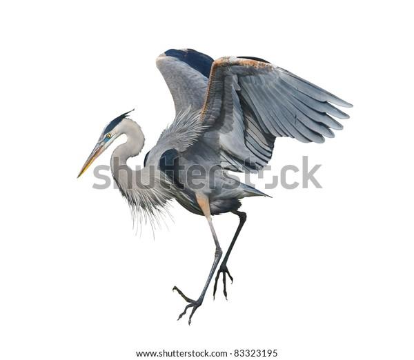 Great Blue Heron, isolated on white. Latin name - Ardea herodias.