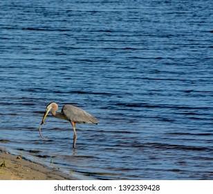 Great Blue Heron killing and eating a Boa snake. At Okeechobee lake, Okeechobee County, Okeechobee Florida, USA