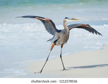 A Great Blue Heron Lands on a Florida Beach