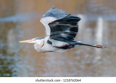 The Great Blue Heron is a large wading bird most commonly found near bodies of water. They can be found year-round in most of the continental United States.